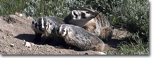 Badger Sow and Cubs -Yellowstone National Park