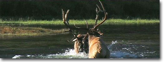 Bull Elk Fighting -Yellowstone National Park