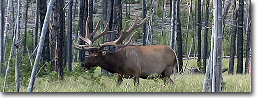 Bull Elk in Velvet -Yellowstone National Park