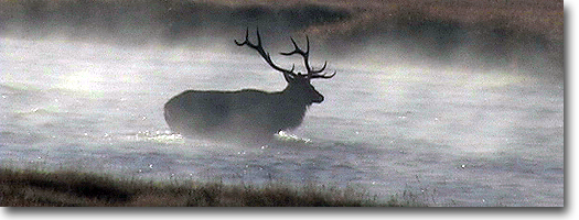 Bull Elk in Fog -Yellowstone National Park