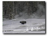 bison winter